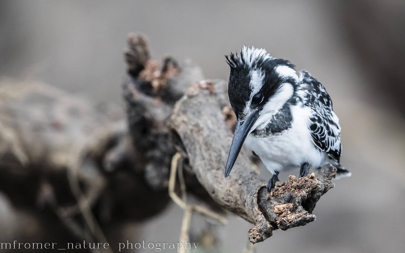 Pied kingfisher, Chobe river