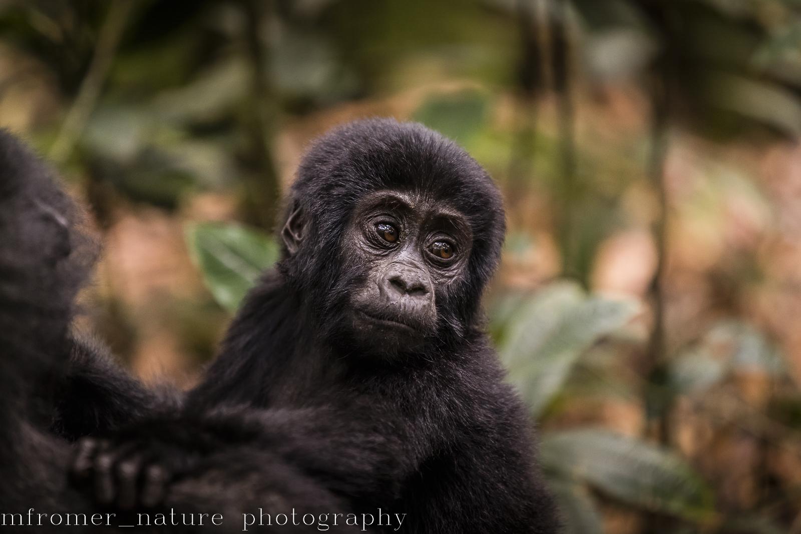 portrait of a mountain gorilla-7