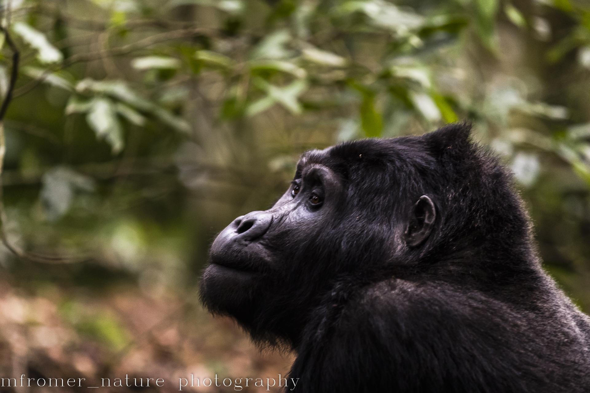gorilla of the rushegura group-16
