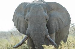 grey elephant bull