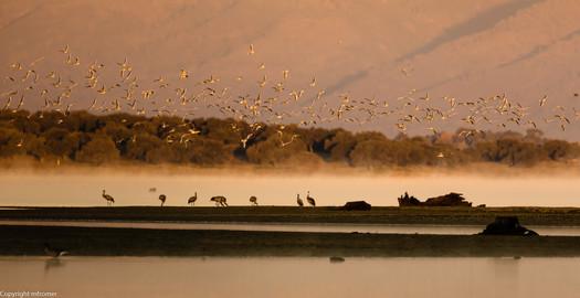 early morning, European cranes, Spain, Estremadura, Nov 2016
