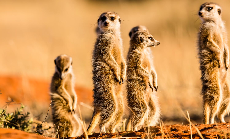 Meerkats Tsvalu