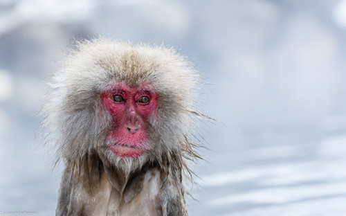 Old snow monkey in the hot tube