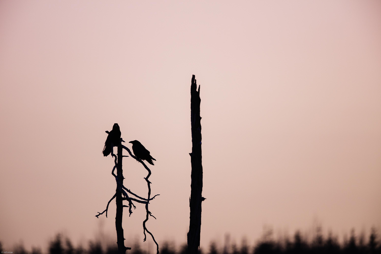 Raven morning