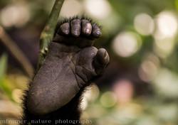Close-up Mountain gorilla