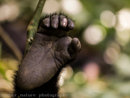 Read Africa Geographic's on-line article on Mountain gorillas and conservation