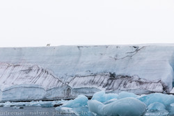 Polar bear on glacier