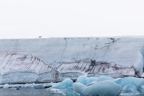 Lonely polarbear Kvitoya 2018