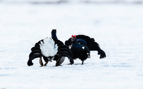 Black grouse, dancing, picture taken from a 1 man hide, stayed over night, Kuikka, Finland