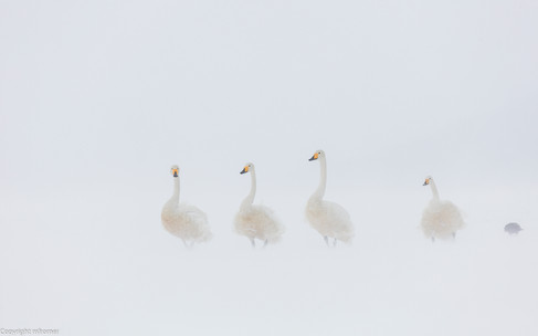 Whooper swans brave the strong wind