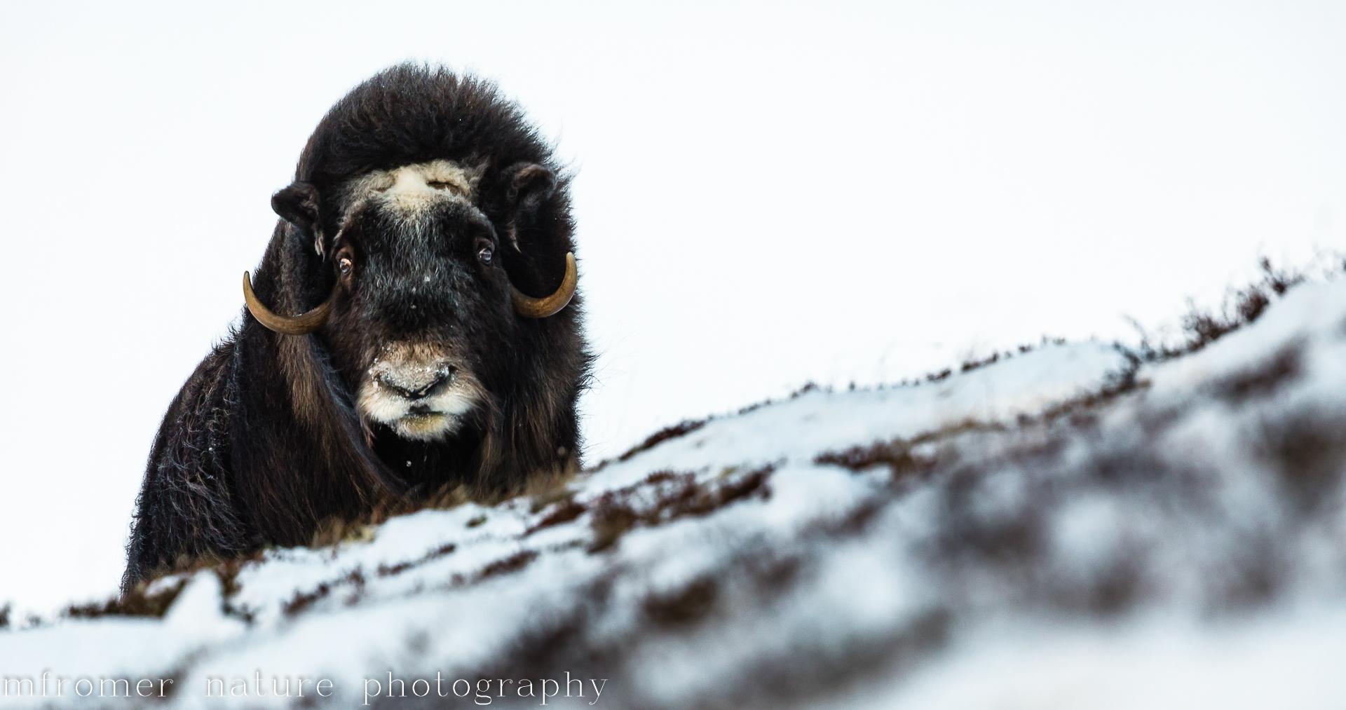 A majestic bull