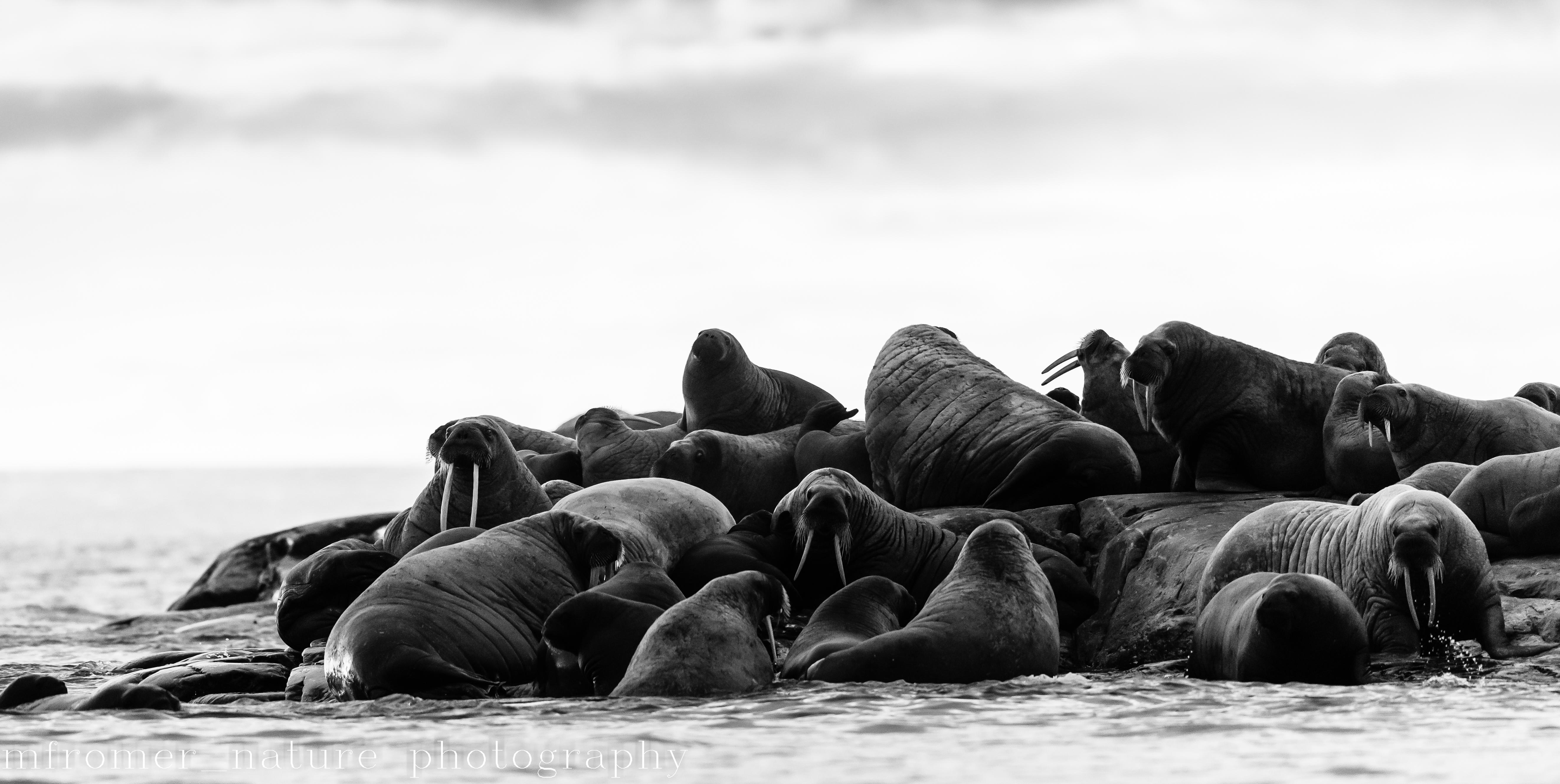 walrus on small island