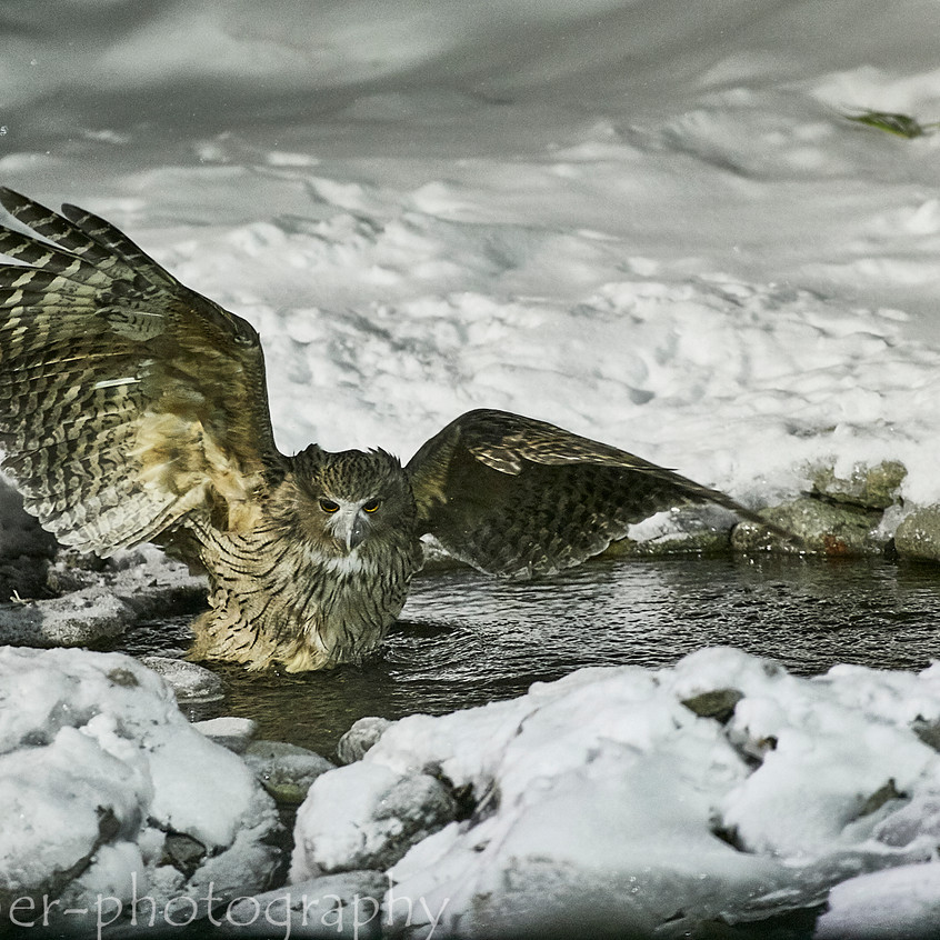 fishing owl 4