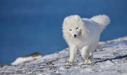Fox Svalbard