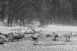 Whooper swans in B&W