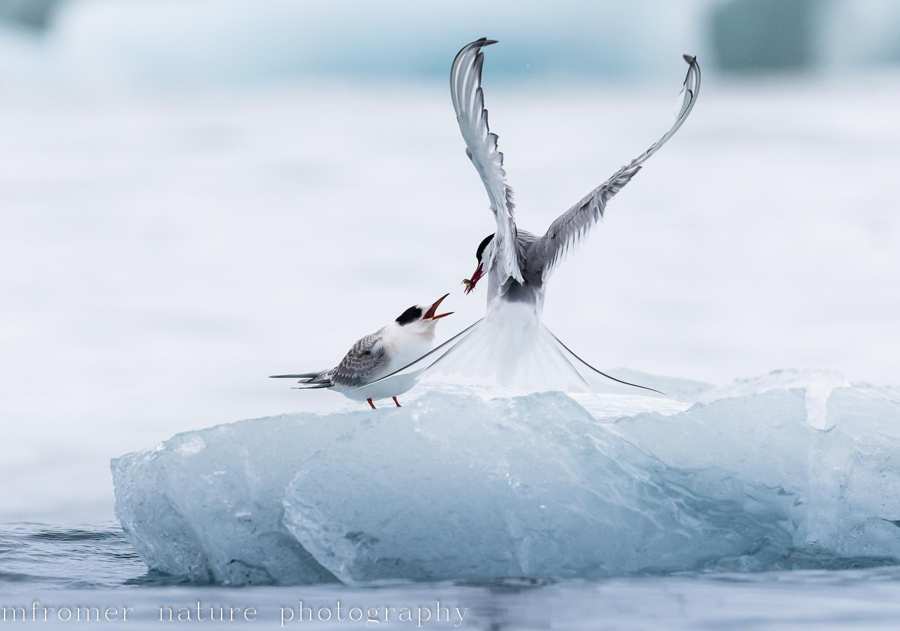 arctic tern feeding