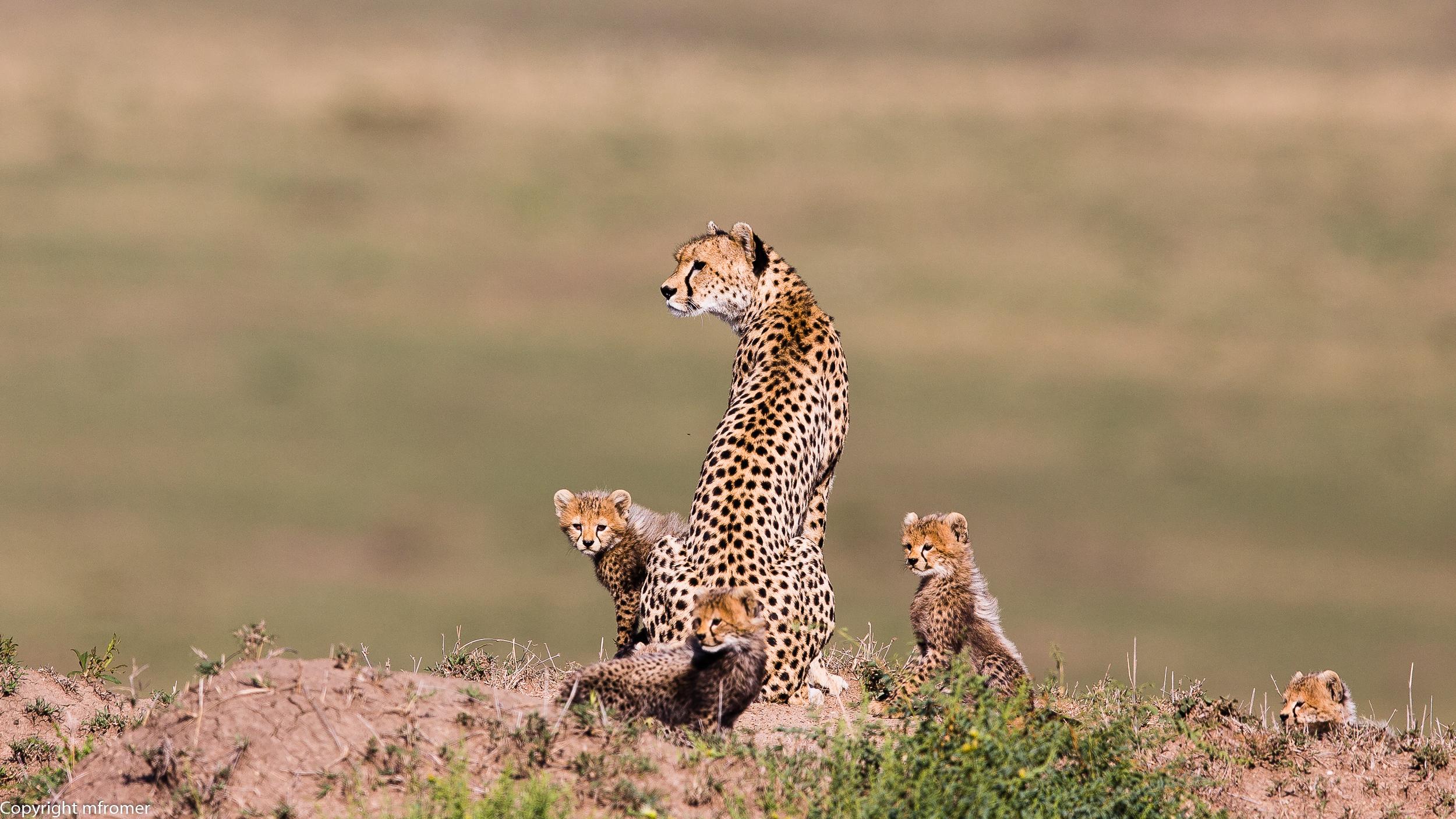Cheetah Malaika Masai Mara 2014