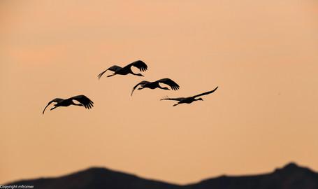 return of European cranes to their roost, Spain