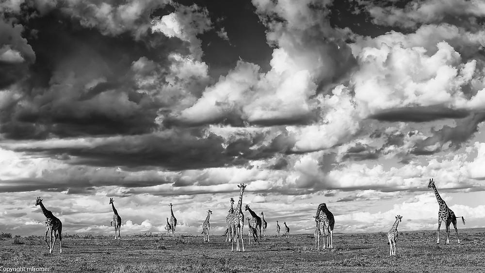 Giraffes under a stormy sky