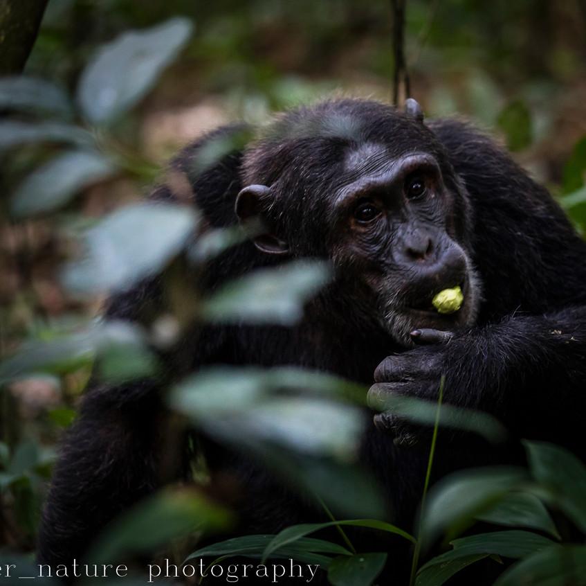 chimp-4