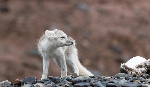 arctic fox, Svalbard 2018