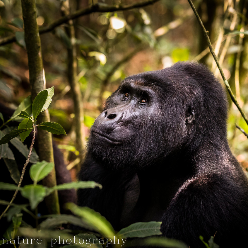 portrait of a mountain gorilla-18