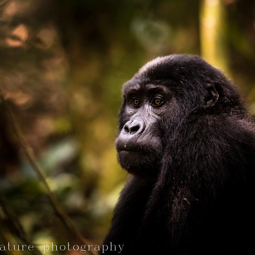 portrait of a mountain gorilla-15
