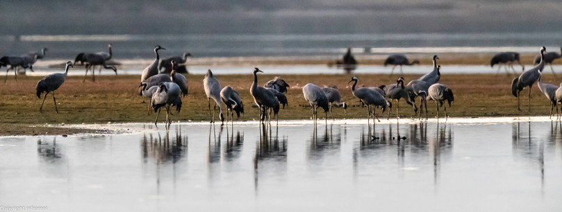 European cranes, Spain, picture taken from a hide, very cold in the morning, you have to enter the extremly small hide at night, you can not stand up, barely place to sit, a real torture