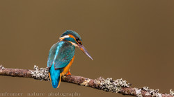 Kingfisher on a perch, England