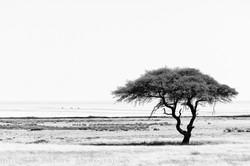 salt pan w tree Etosha NP