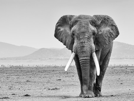 Solitary Elephant Picture one of the 101  Africa Geographic Competition Finalists