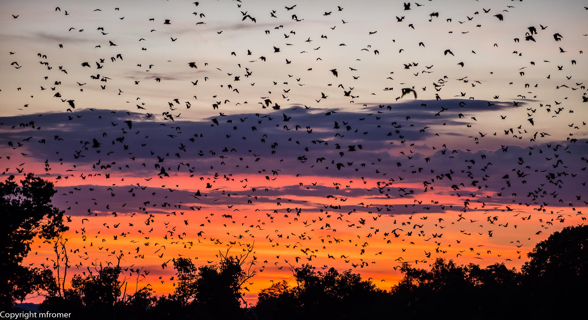 Kasanka, straw-colored fruit bats