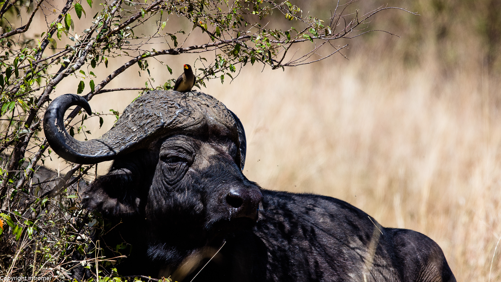 buffalo w oxpecker