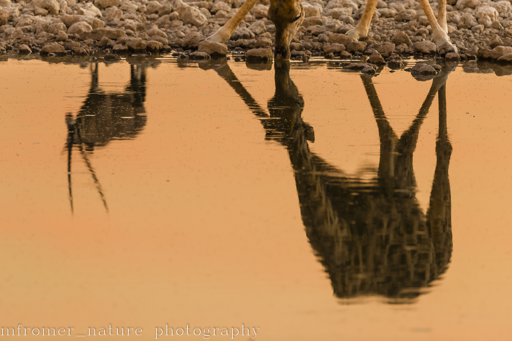 Reflection of oryx and giraffe