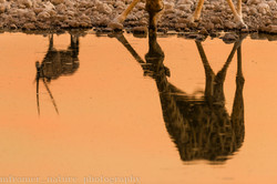 Reflection of oryx and giraffe