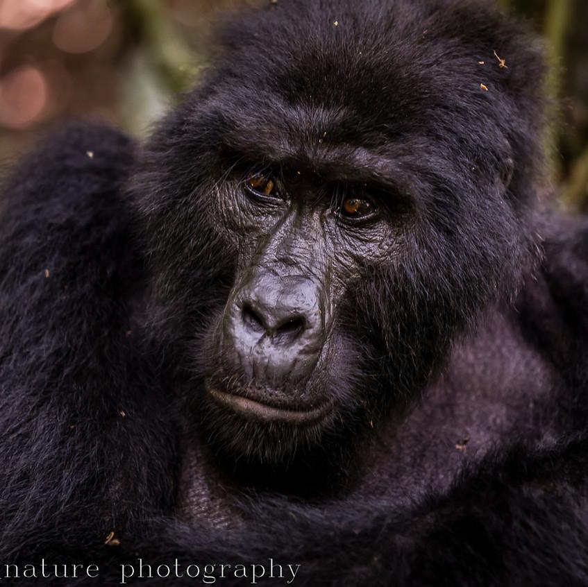 Habinyanja mountain gorilla-8