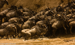 Preparing to cross the Mara river