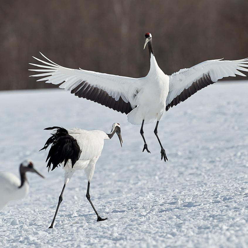 dancing japanese crane