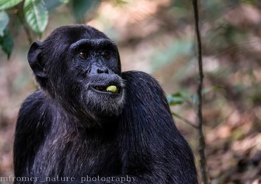 Male chimpansee