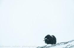 Musk ox in winter