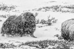 2 musk ox bull B&W