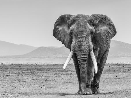 Celebrating African Elephants