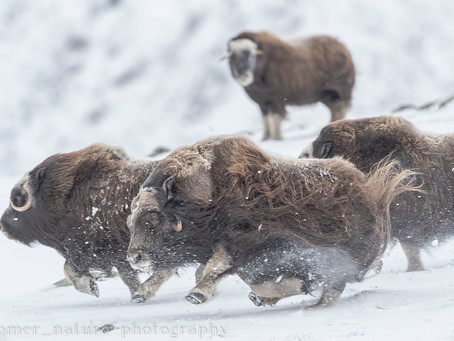 Musk Ox Photography in Norway