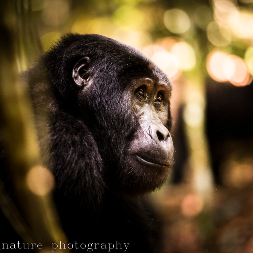 portrait of a mountain gorilla-16