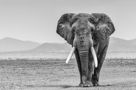 Celebrating elephants. Amboseli NP