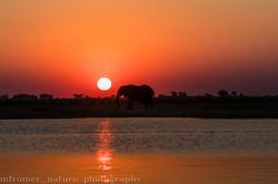 Elephant at sunset Chobe river
