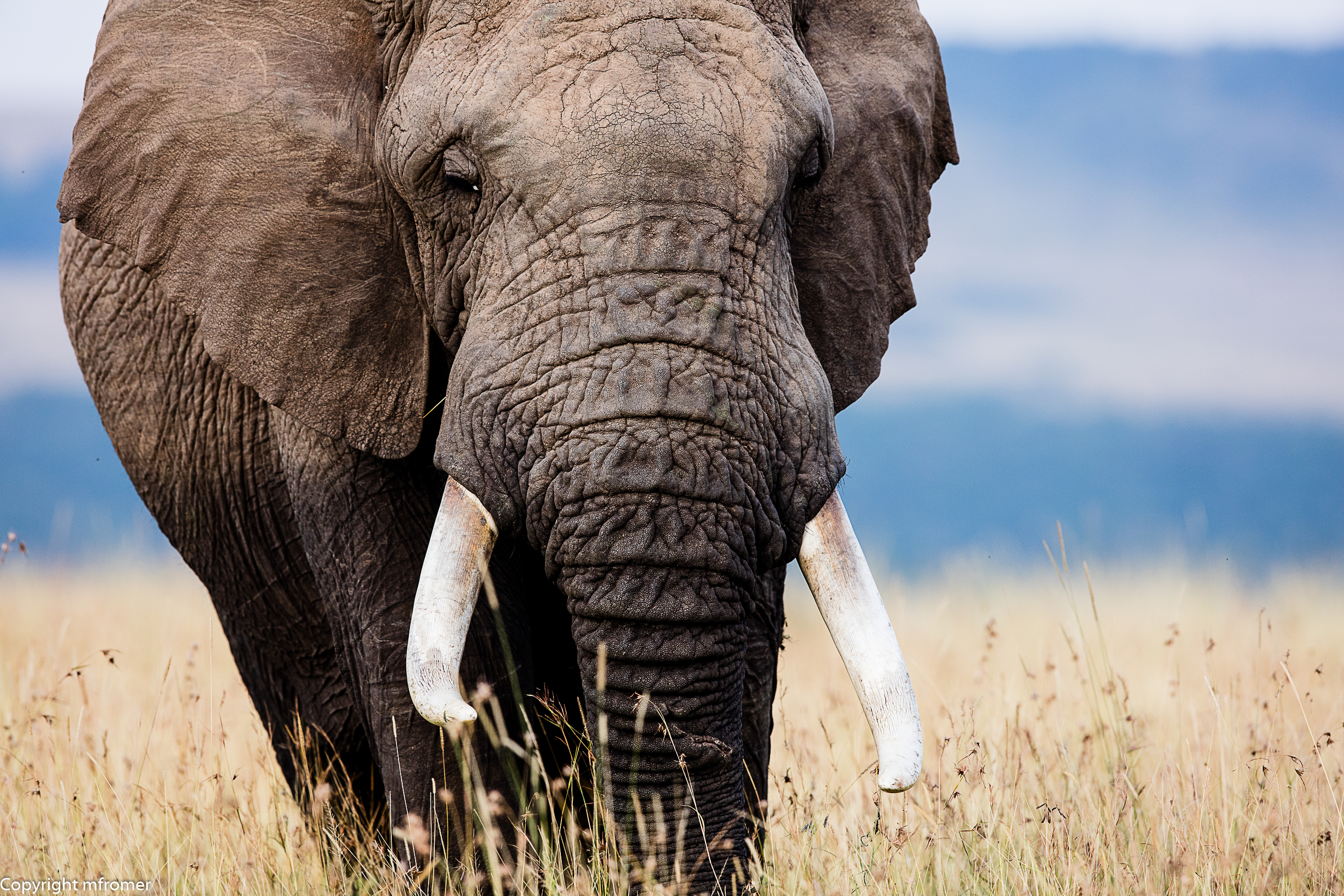 African elephant in the Maasai Mara