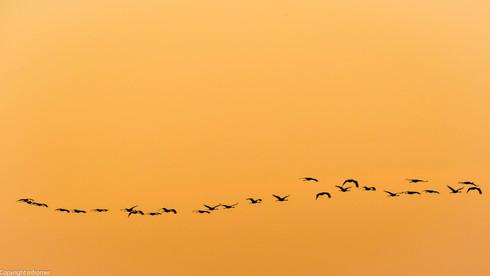Cranes fly back to their roost, Spain, Estremadura, Nov 2016