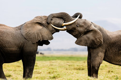 Elephant bulls playing