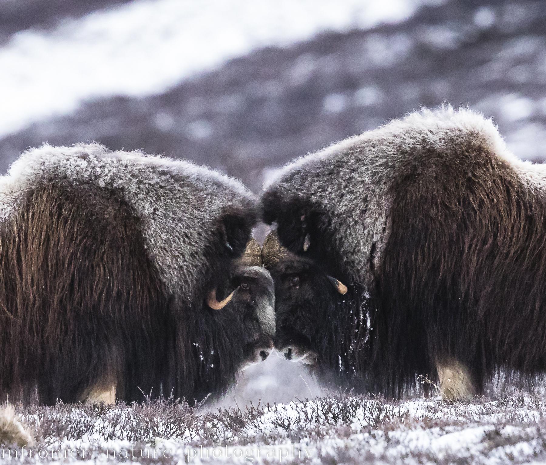 2 bulls head to head